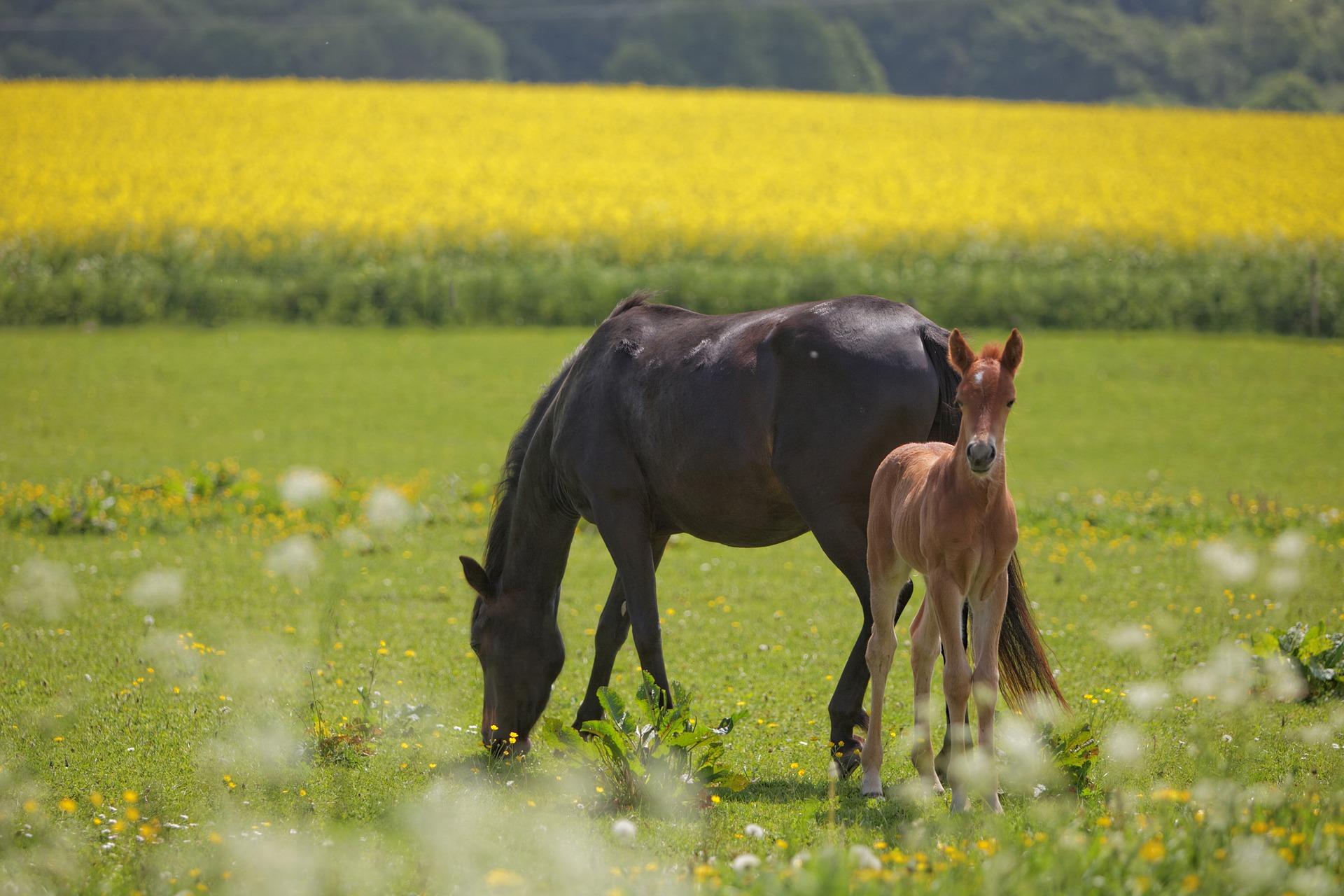 vente chevaux foals