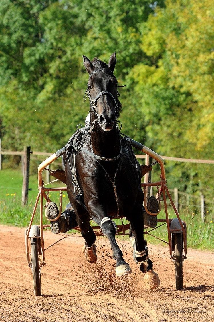 Vente de chevaux d'entrainement